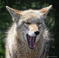 laughing coyote by Yair-Leibovich