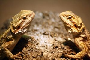 Bearded Dragons 8 by MegMarcinkus