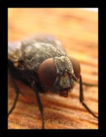 Macro of a Fly by FramedByNature