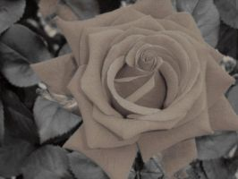 Rose altered colours by Eadlin