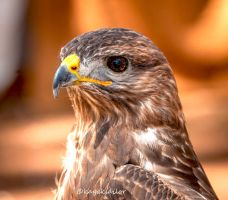 European Buteo buteo by kayaksailor