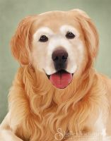 Golden Retriever Portrait by ShelleyVPhoto