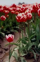 tulip festival 2 by JensStockCollection