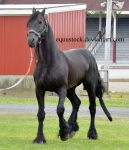 Friesian hesitating by equustock