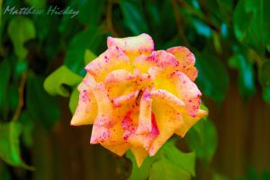 Colourful Rose by HickeyM