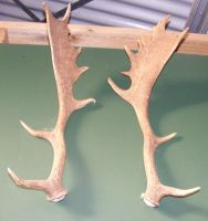 Two Antlers by Gracies-Stock