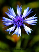 Kornblume / Bluebottle 2 by bluesgrass