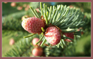 Pinecone Buds by draconiangem