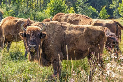European Bisons (Wisent) by Mintmount