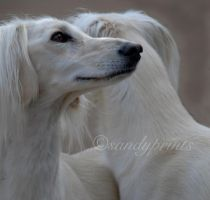 saluki feathered. by sandyprints