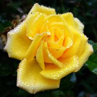 Yellow Rose II by FeralWhippet