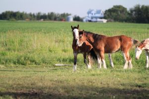 Clydesdales 2 by okbrightstar-stock