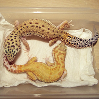 GECKOS by Masked-lion