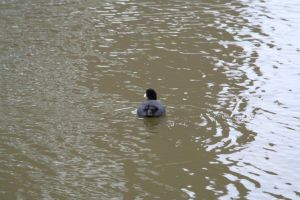 water chicken 3 by priesteres-stock