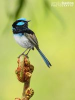 Fairywren by amaliabastos