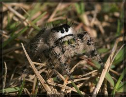 Jumping spider 20D0039191 by Cristian-M