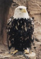 Bald eagle by AH-Stock