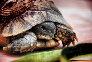 Titine la tortue by spinal123