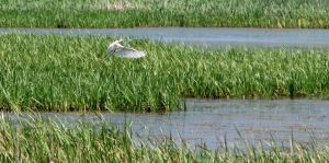 Great Egret by bethabus