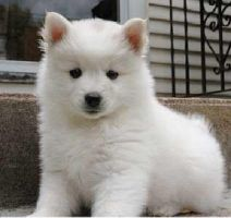 American Eskimo Puppy by onemanwolfpack123