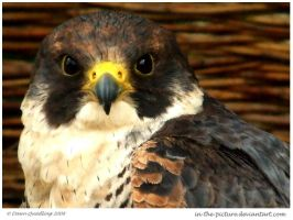 Peregrine Falcon II by In-the-picture