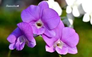 Pretty orchids by gigi50