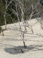 Dead Trees In Sand by Gracies-Stock