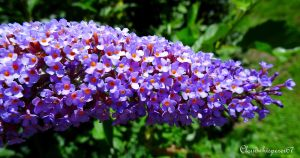 Sweet Indigo Blossom --- Butterfly Bush Buddleja by Cloudwhisperer67