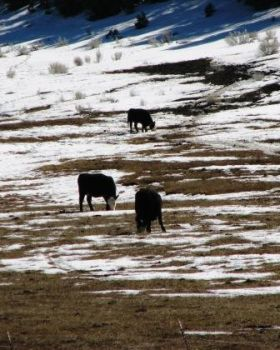 Snow cows by katonk