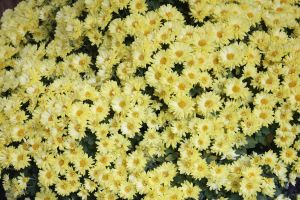 Yellow Chrysanthemums by Baneling77