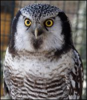 Northern Hawk Owl II by Tienna