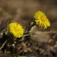 Tussilago by perost
