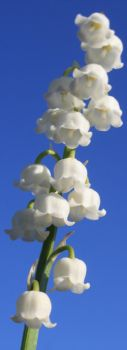 Lily of the Valley in the Sky by KeswickPinhead