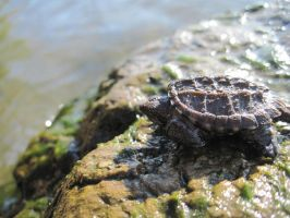 Baby Turtle by NikkiSkye8