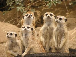 Many Meerkats by TalkStock