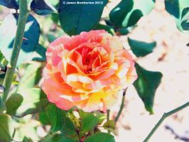 Orange Intuition Rose by jim88bro