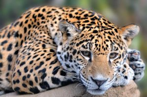 Jaguar Cub 7053 by mgroberts