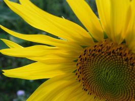 sunflower by Didier-Bernard