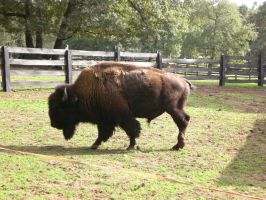 Buffalo Stock 1 by mysteria-dl