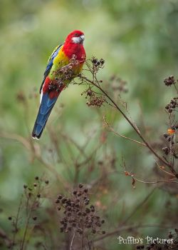 Eastern Rosella by tuftedpuffin