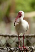 Perched Ibis by JonShotFirst