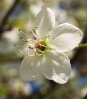 White Bradford Pear Blossom by silent-phoenix4