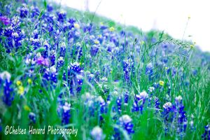 BlueBonnets_4 by cehavard90
