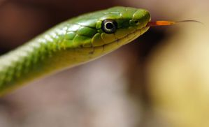 Rough Green Snake Tongue by Fail-Avenger