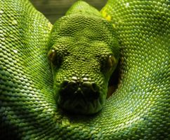 Emerald Tree Boa II by Akayana
