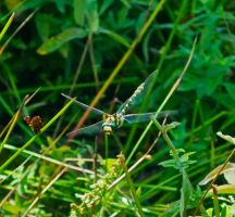 Chasing dragonflies by willscut