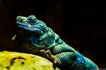 Blue Lizard by ImagebyAllie