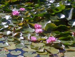Water Lillies by spotted-cat
