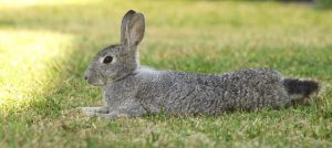 Chinchilla wild rabbit relaxing by 18o16o