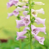 Bell flowers in pink by simplysuzu